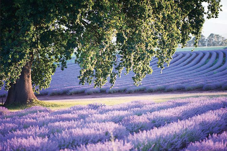 Peppermynta-Lavendel-Farm-Neuseeland-Bridgestowe_2