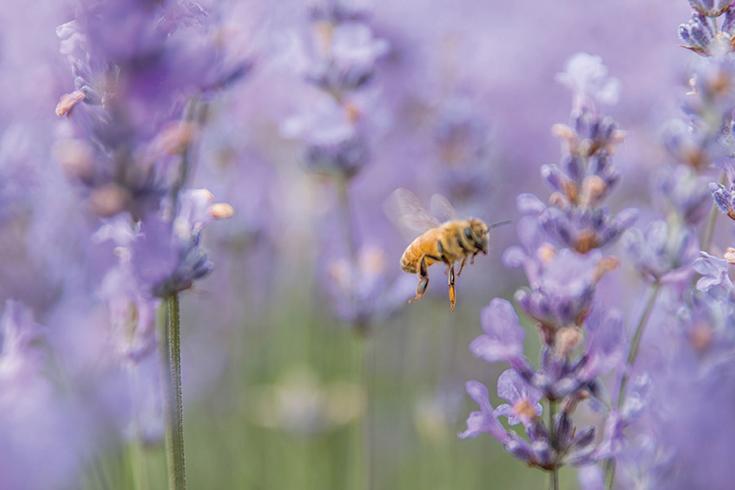 Peppermynta-Lavendel-Farm-Neuseeland-Bridgestowe_4