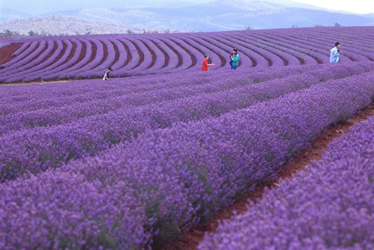 Peppermynta-Lavendel-Farm-Neuseeland-Bridgestowe_7