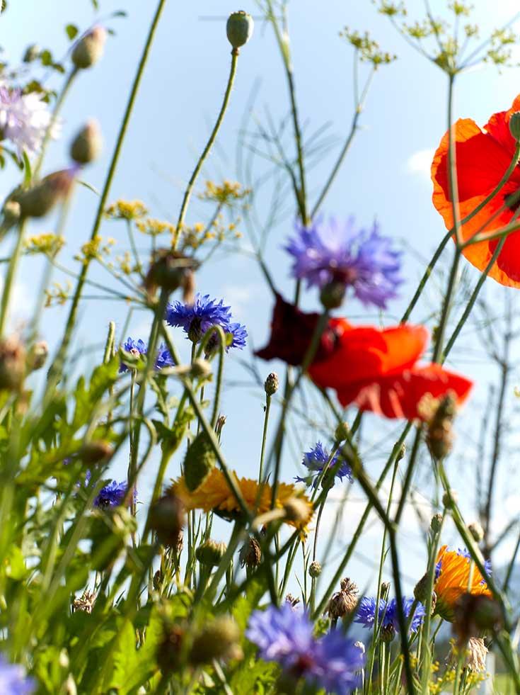 Ausflug in die Grüne Erde-Welt – Der ökologische Veranstaltungskalender, Blumenwiese