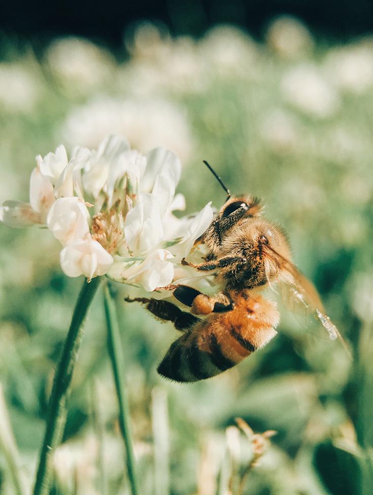 Rettet die Bienen – Sticht die Honigbiene die Wildbiene aus?