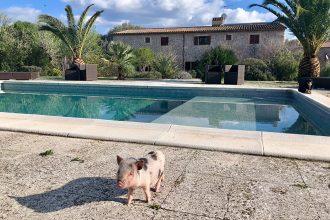 Villa Vegana – Das vegane Paradies auf Mallorca: Hotel und Restaurant, Pool, Schwein, Ferkel