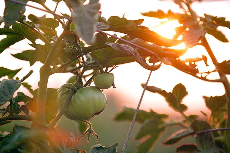 Peppermynta-Peppermint-Eco-Lifestyle-Alternative-Weihnachten-Geschenke-last-Minute-Geschenke-nachhaltig-fair-schenken-Tomatenretter