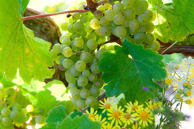 Delinat Bio Wein – Alles was du über nachhaltigen Weingenuss wissen mußt: Weinberg, Traube